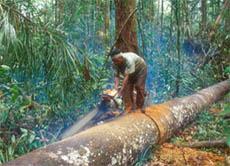 Mahagonibaum im regenwald  Luisas Kolumne - Der Regenwald stirbt, und mit ihm das Leben...