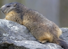 Murmeltier Schlaf
