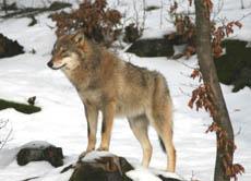 Es Gibt Wieder Mehr Wölfe In Unseren Wäldern