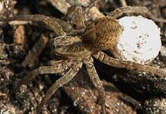 Spinnen webk nstler auf acht schnellen beinen - Was tun gegen spinnen im zimmer ...
